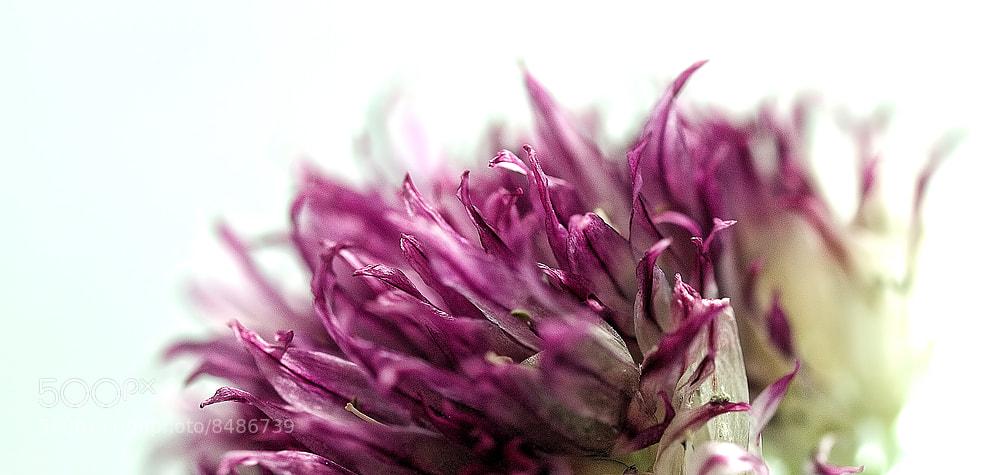 Photograph Wild Garlic II by Daggi Meyer on 500px
