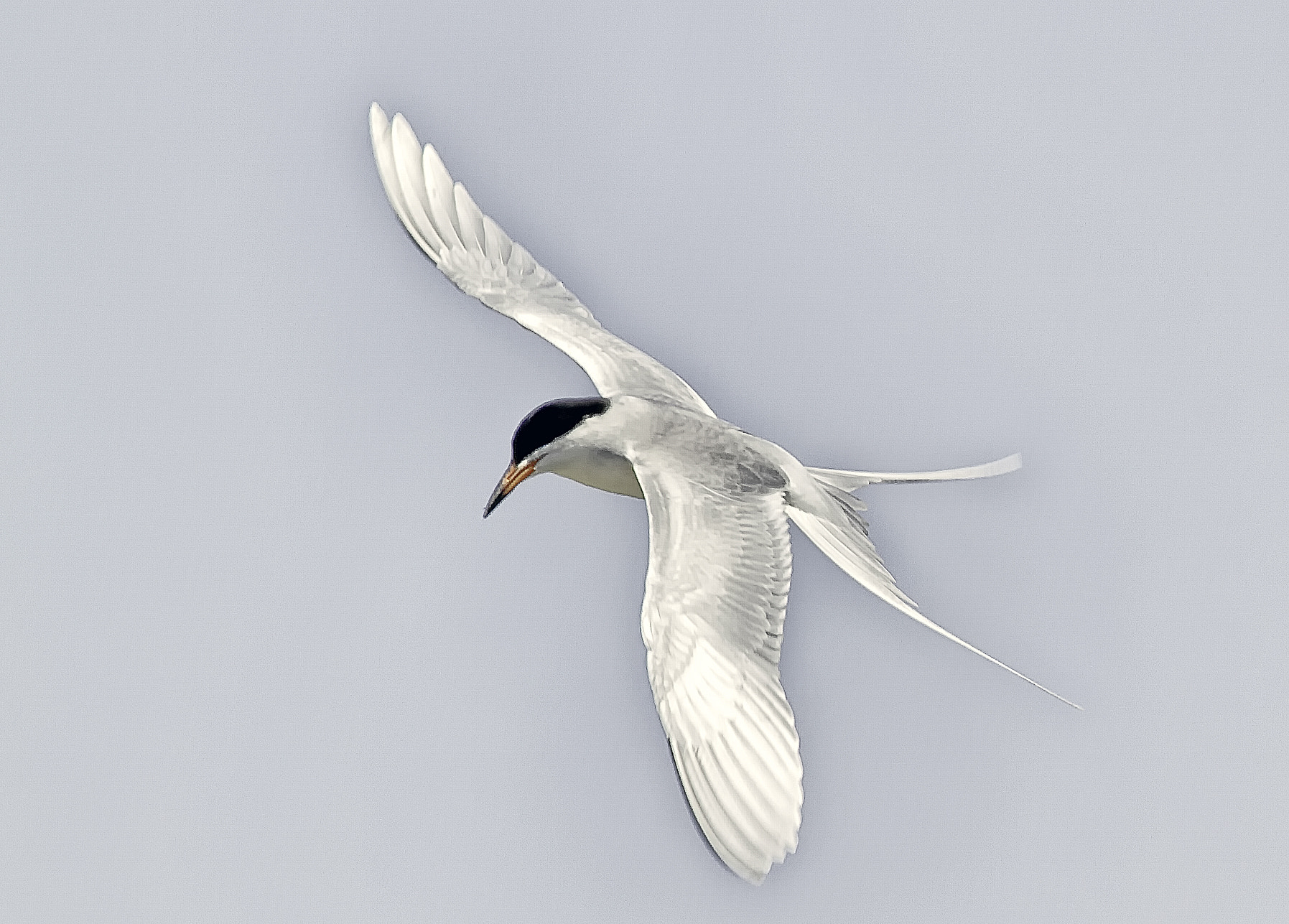 Photograph Forster's Tern by Marianne Bush on 500px