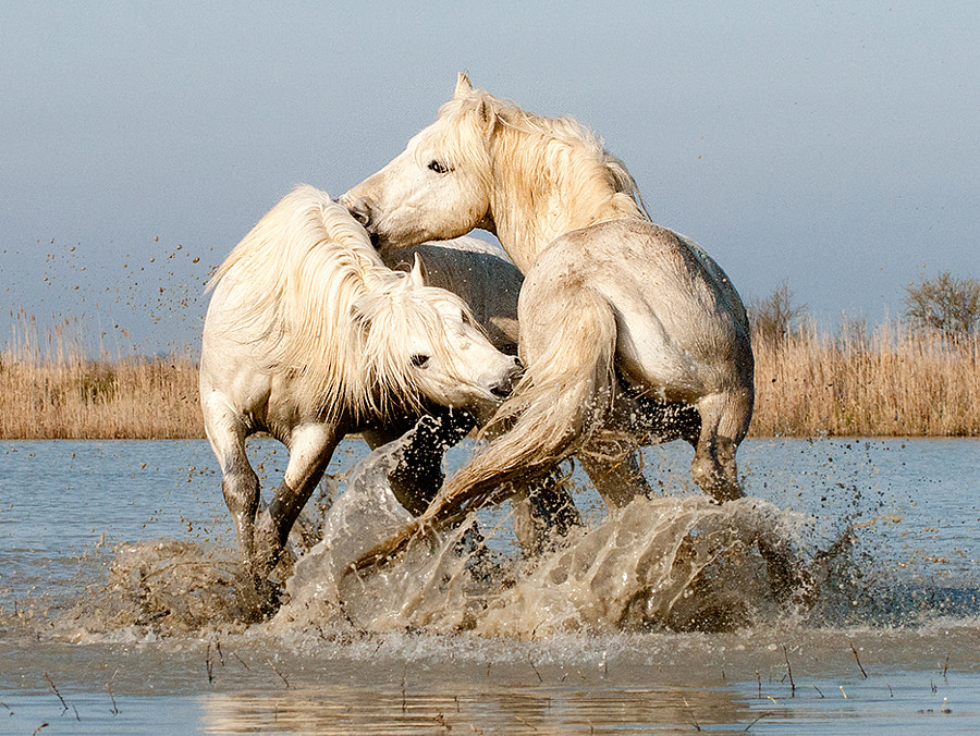 Camargue Stallions Play-fighting in Water (1) by John Hallam on 500px