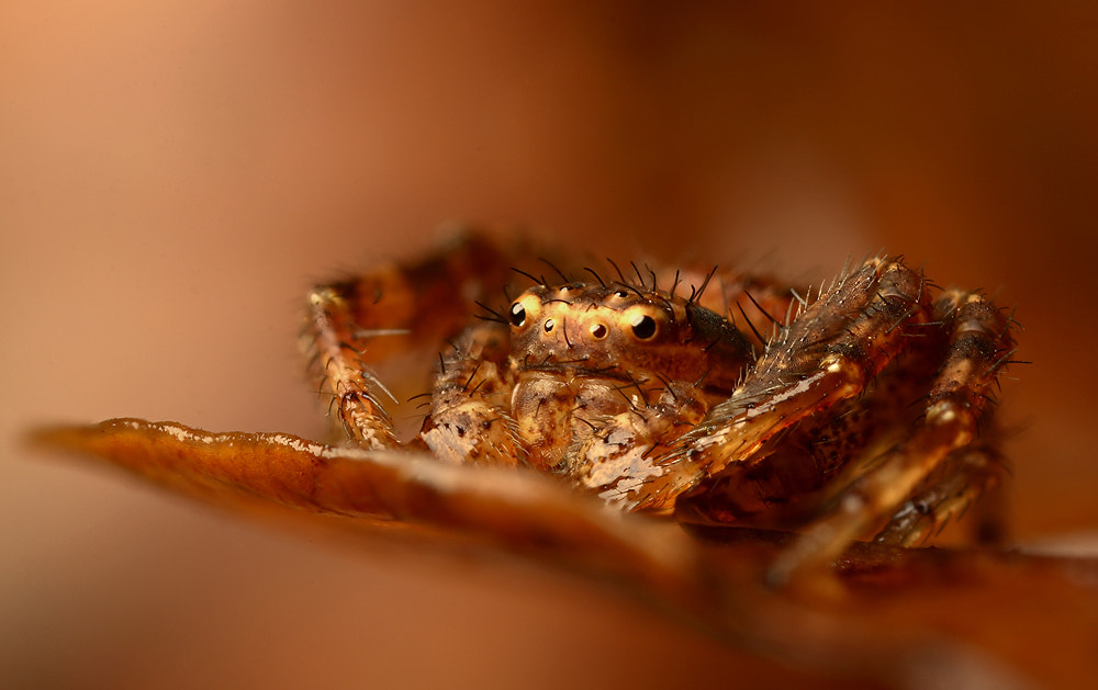 Photograph Winter Crab Spider by Alistair Campbell on 500px
