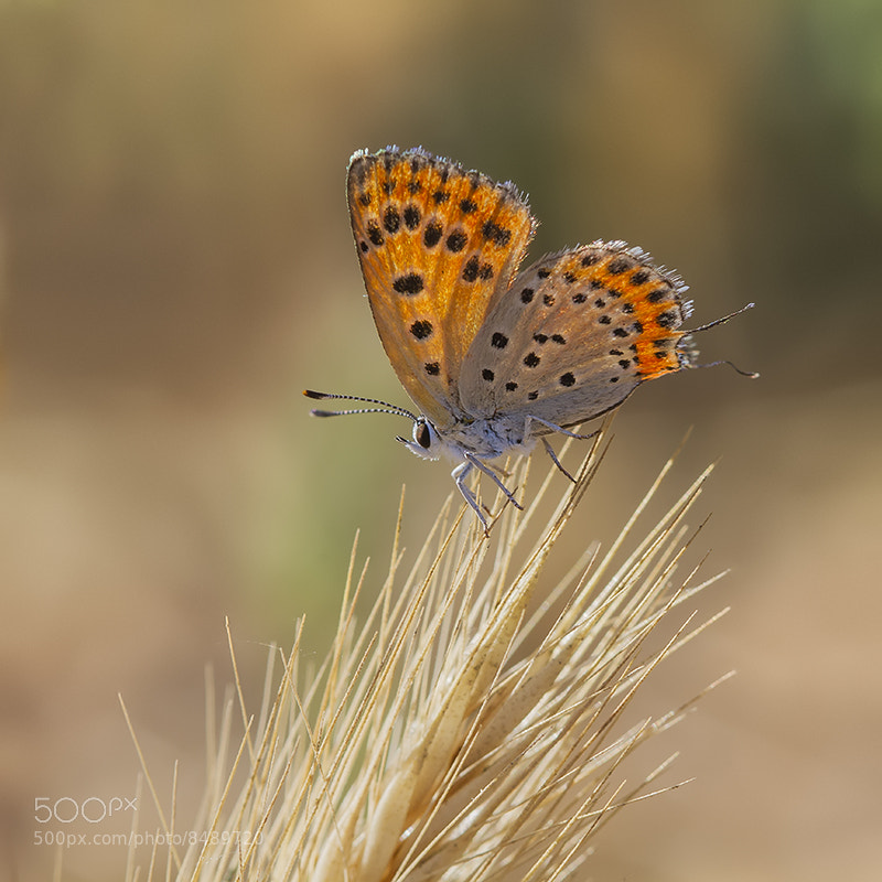 Photograph lycaenid by Basheer Sheick-Yousif on 500px