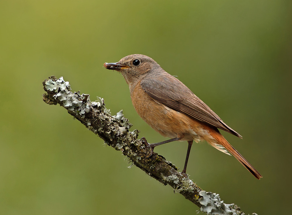 Photograph Female Redstart by Phil  Morgan on 500px