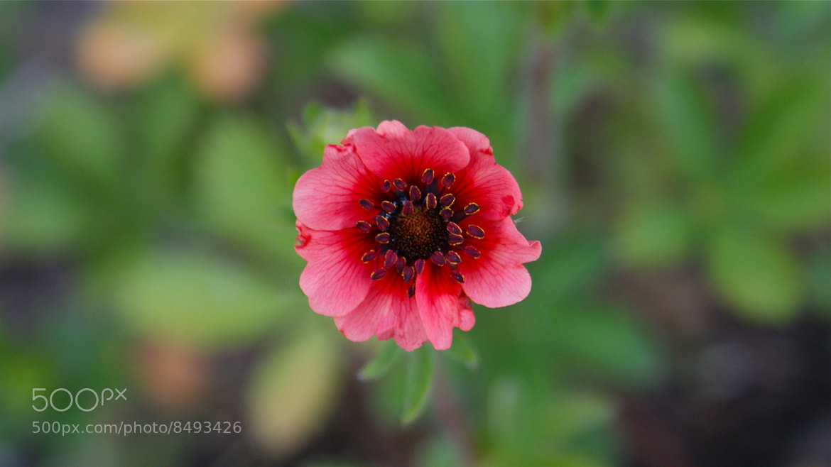Photograph Potentilla  by Zack Parton on 500px