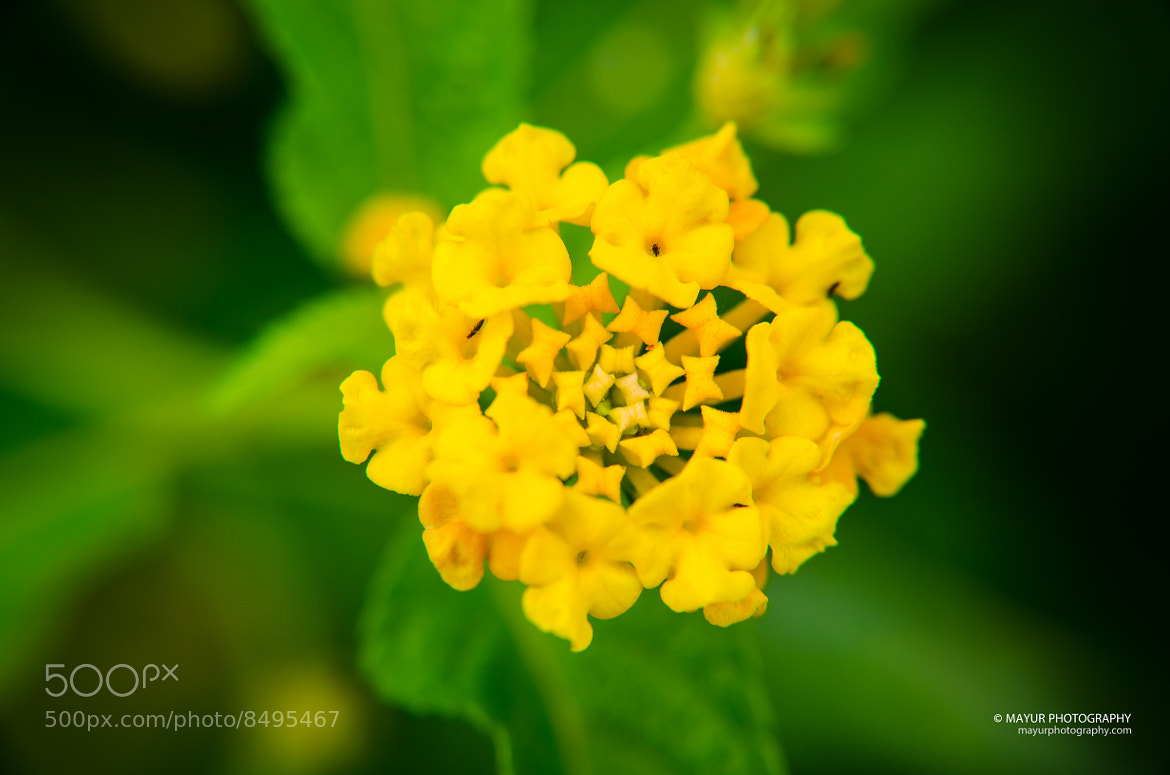 Photograph Golden Flower by Mayur Chaudhary on 500px