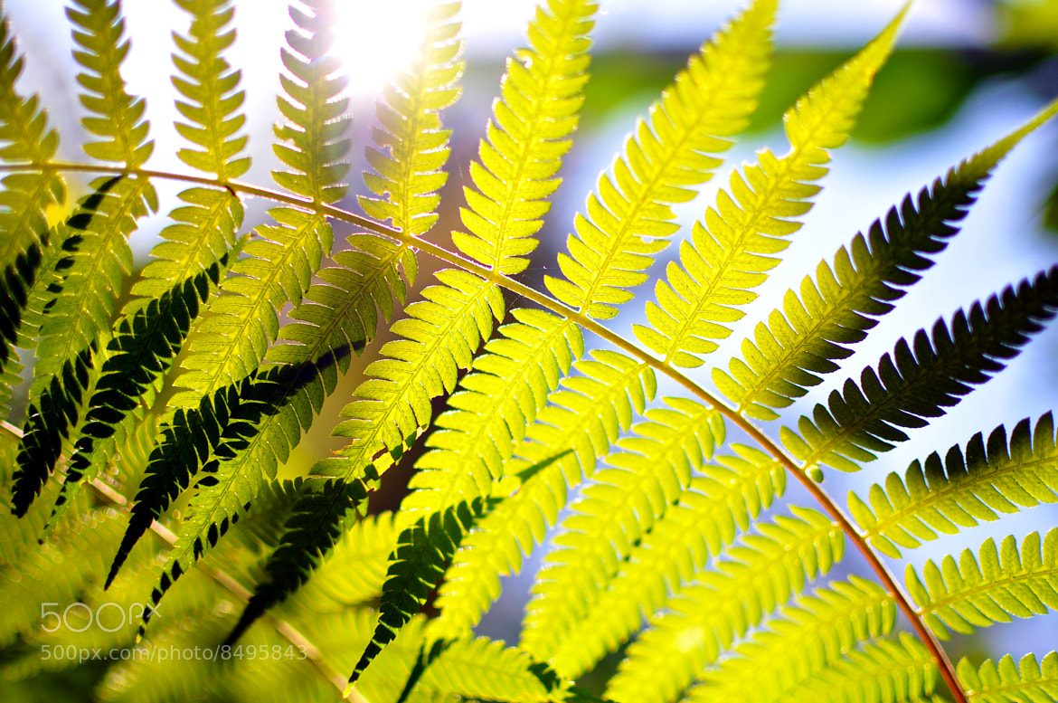 Photograph Sun shining through fern leaves  by Phattana Sangsawang on 500px