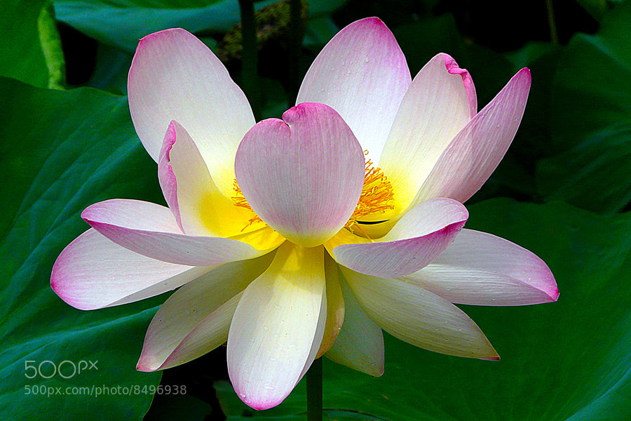 Photograph Lotus by Stefan Andronache on 500px