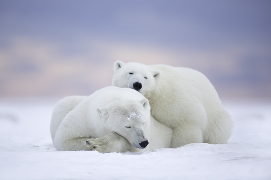 Polar Bears and Pink Sky by Matthew Studebaker on 500px.com