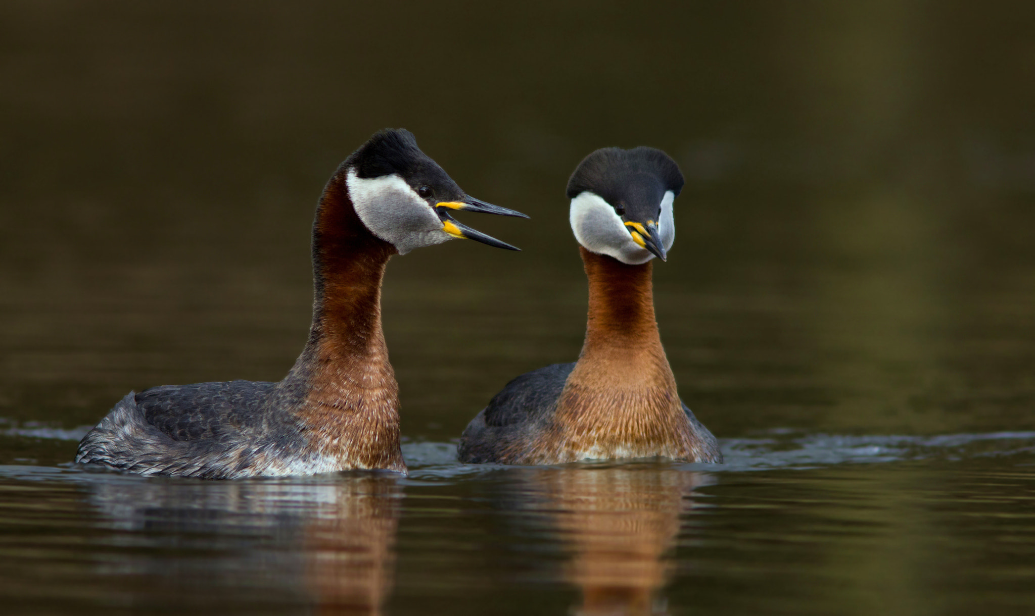 Photograph Podiceps grisegena by Peter Lindstrom on 500px