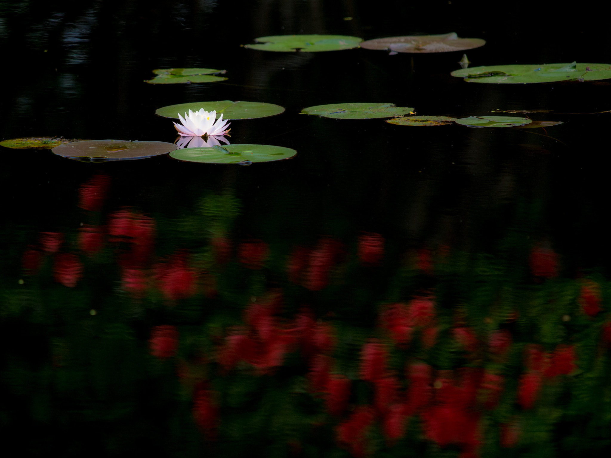 Photograph Water lily with dark red by Kaz Watanabe on 500px