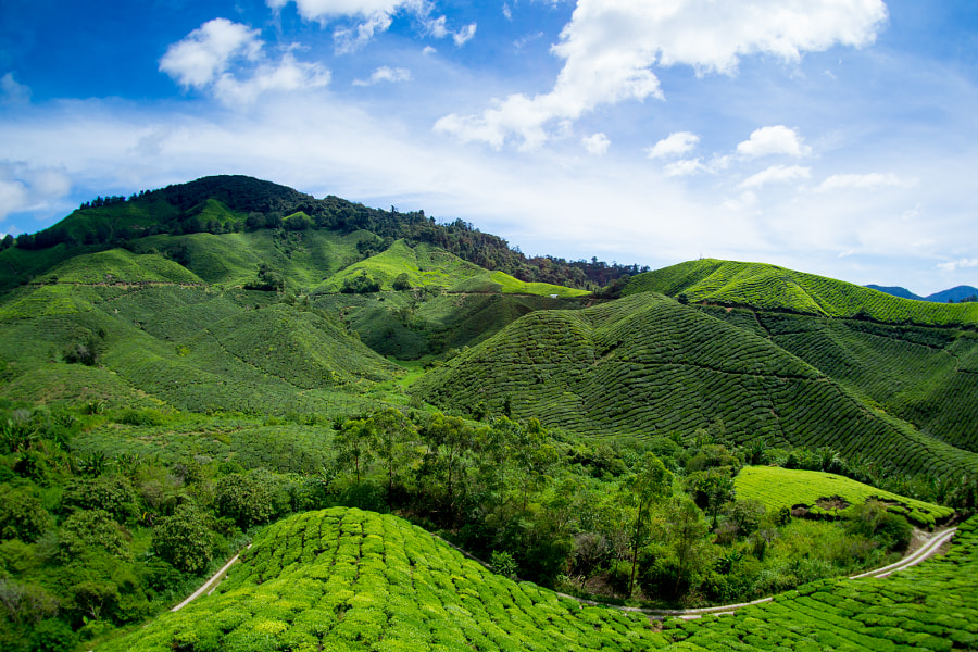 Tea plantations near Cameron Highlands, Malaysia by Thomas Kern on 500px.com
