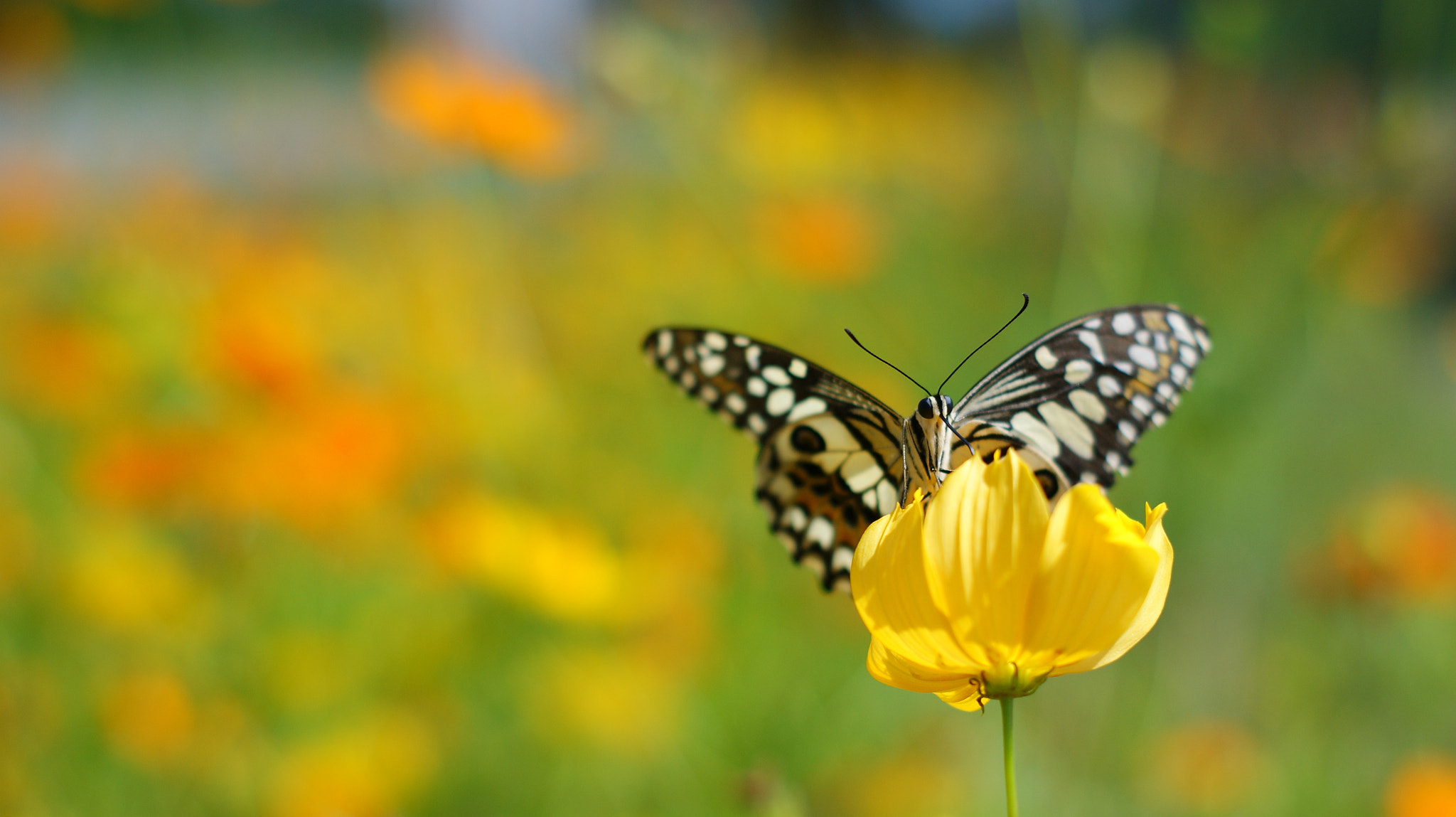 Photograph black butterfly and Yellow star. by lionpink on 500px