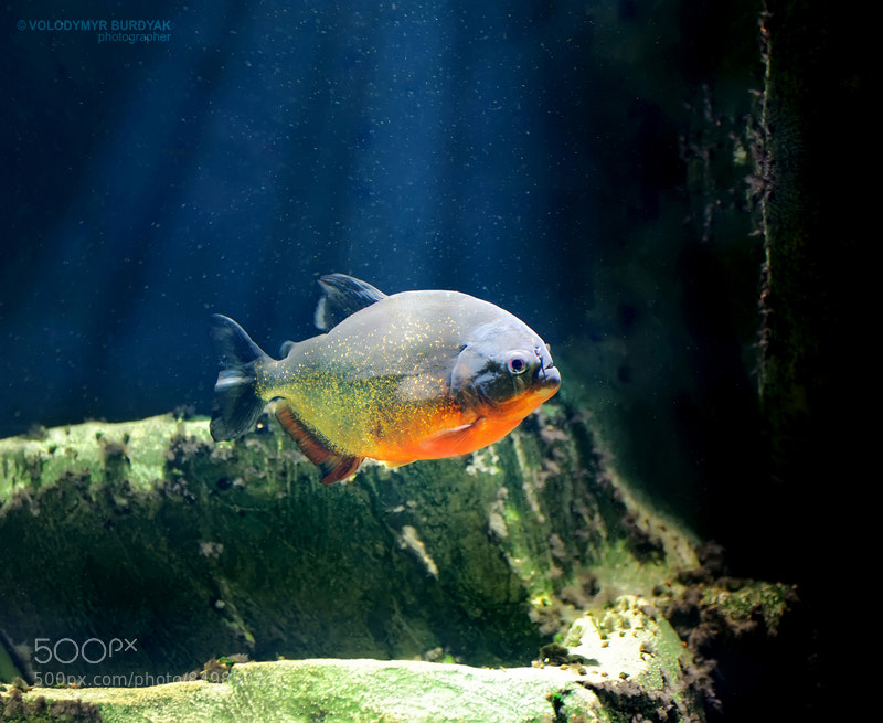 Photograph Piranha by Volodymyr Burdyak on 500px