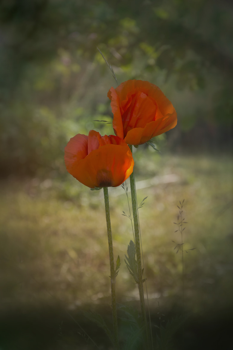 Photograph Flower by Farshad Youssefi on 500px