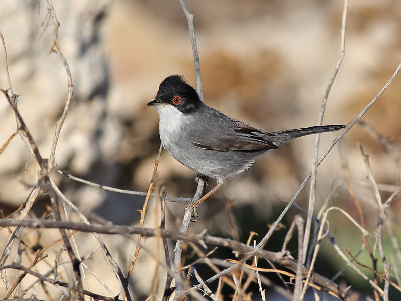 Photograph Sardinian Warbler by Aat Bender on 500px