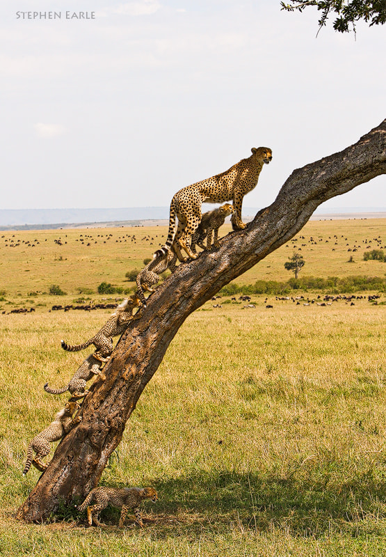 Photograph Cheetah Tree by Stephen Earle on 500px