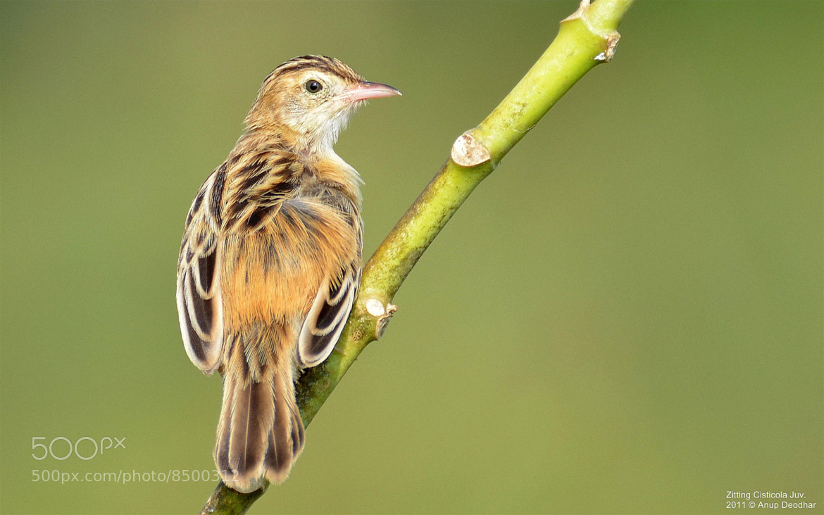 Photograph Zitting Cisticola by Anup Deodhar on 500px