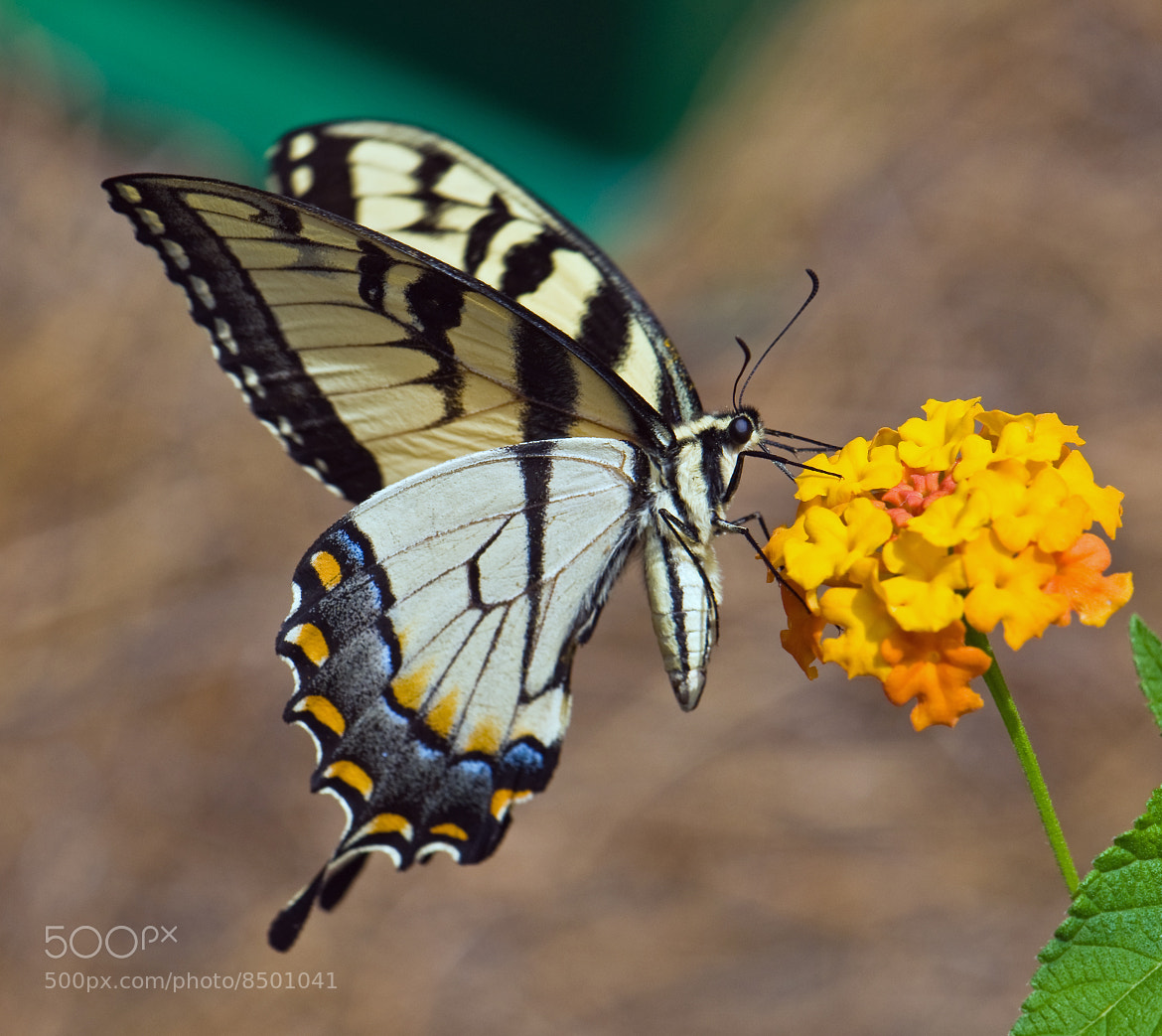 Photograph Butterfly 7 by Mark Luftig on 500px