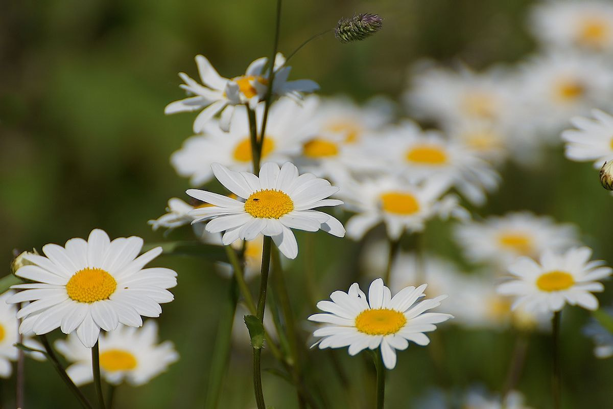 Photograph Marguerites by Gerhard Müller on 500px