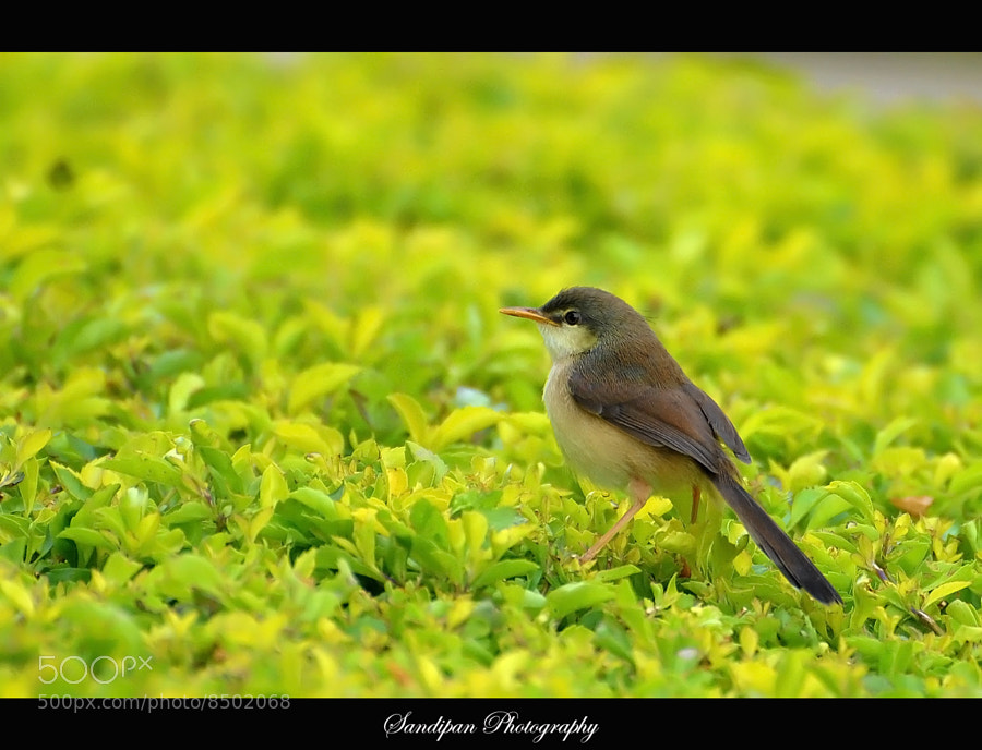 Photograph Ashy Prinia by Sandipan Bhattacharya on 500px