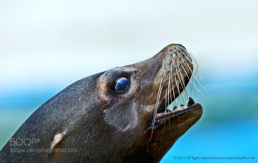 Photograph Sea Lion by Komi Fuchs on 500px