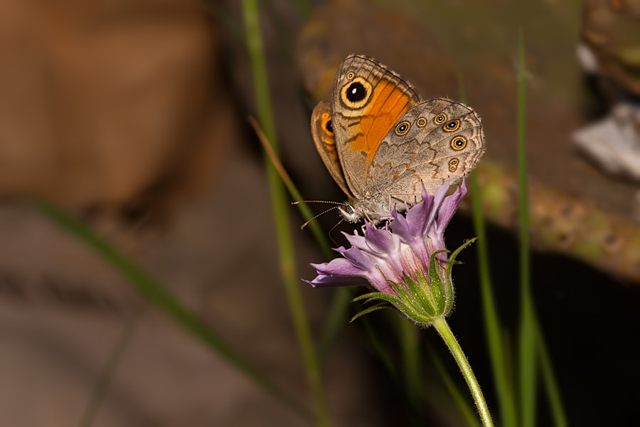 Photograph Wall Brown / Lasiommata Megera by Tanju Kaya on 500px