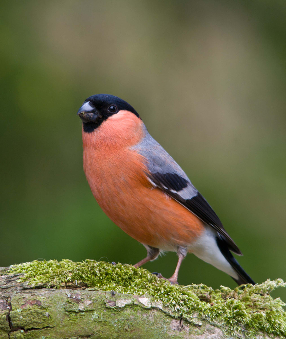 Photograph Male bullfinch by Neil Phillips on 500px