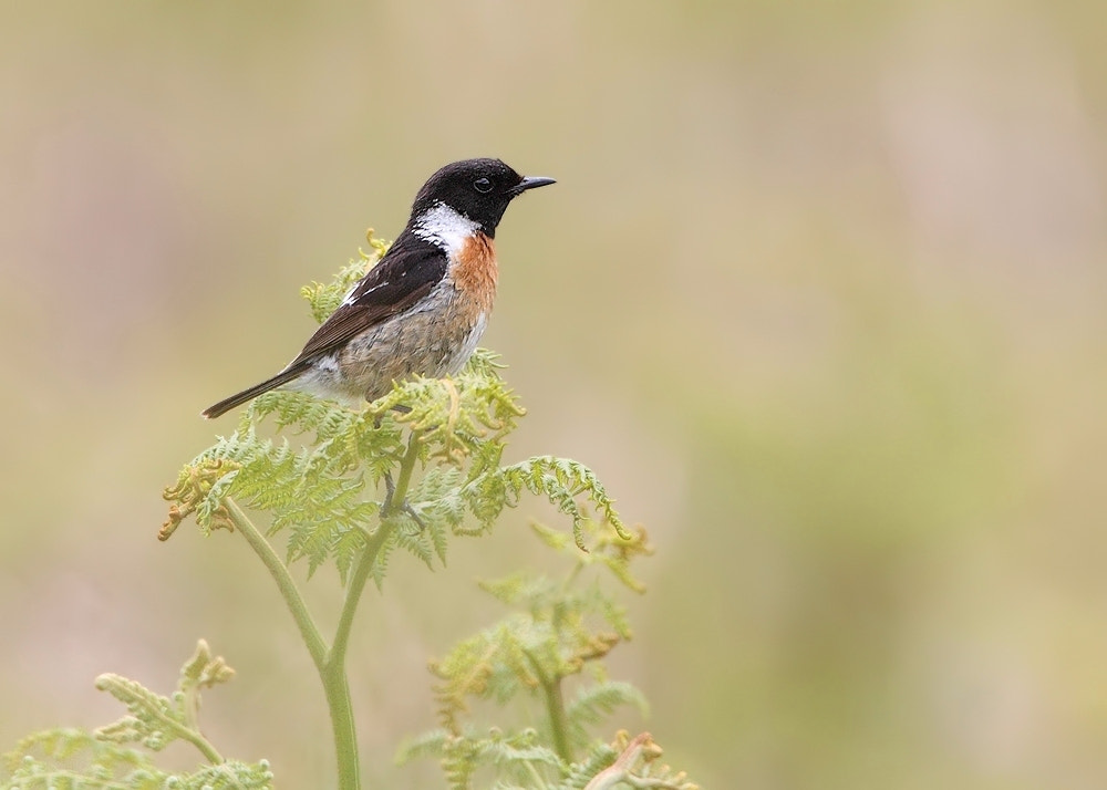 Photograph Male Stonechat by Karen Summers on 500px