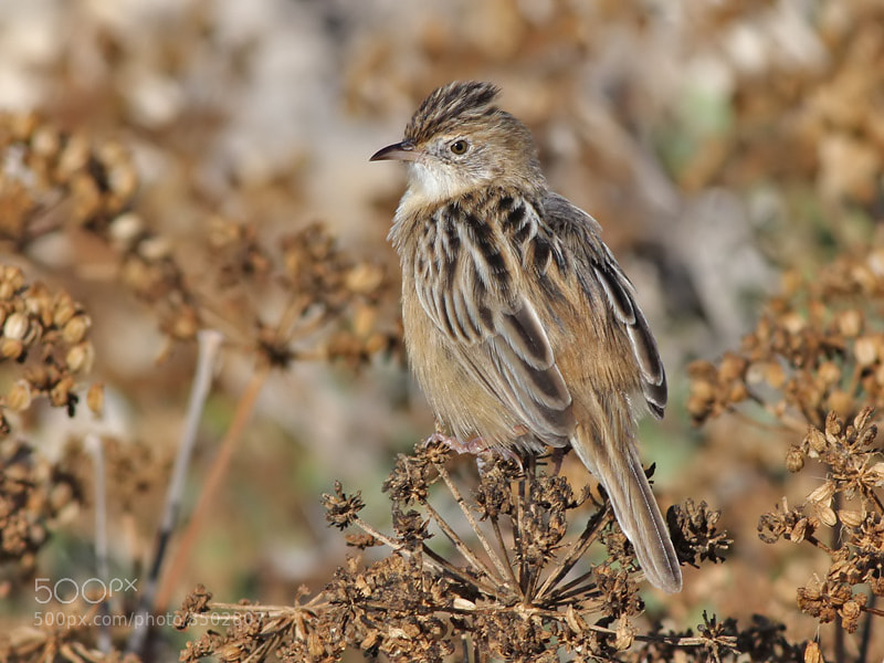 Photograph Sitting Zitting Cisticola  by Aat Bender on 500px