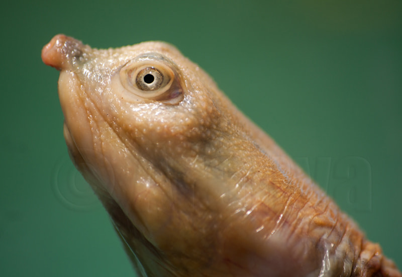 Photograph Head of a soft-shell Turtle by Aranya Sen on 500px
