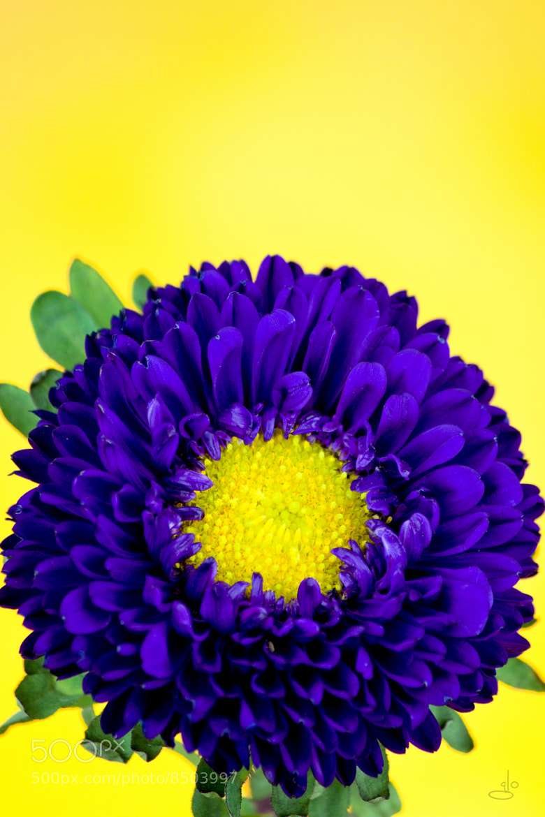 Photograph China aster by Glo Photography on 500px