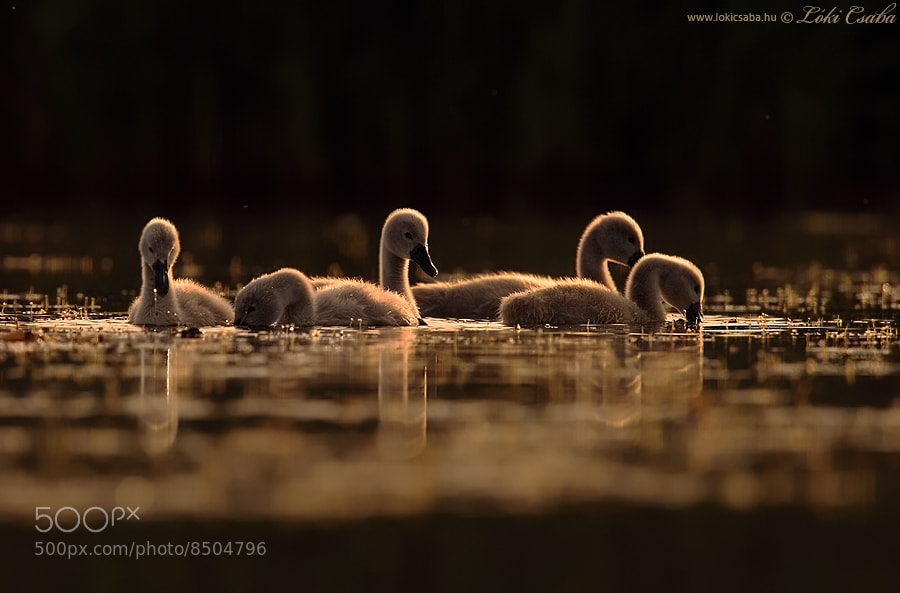 Photograph Young Swans by Csaba Loki on 500px