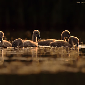 Young Swans by Csaba Loki (csabaloki)) on 500px.com