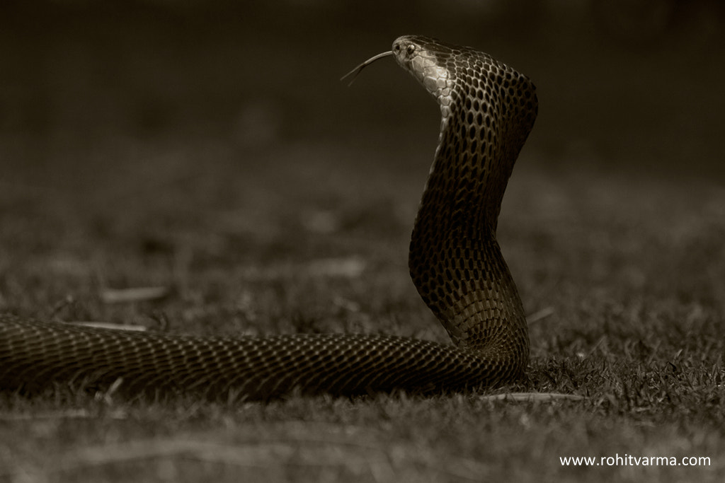 Photograph Spectacled Cobra - B&W by Rohit Varma on 500px