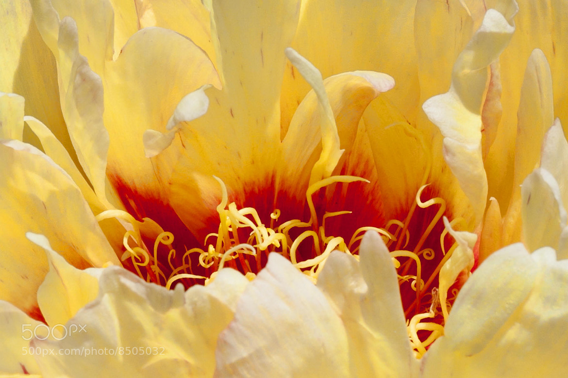 Photograph Fires of hell (peony) by Serge Gagné on 500px