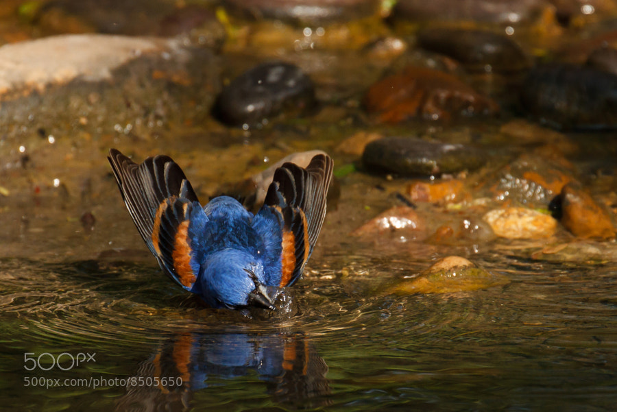 Photograph A Bathing Blue Grosbeak by Kenny Salazar on 500px