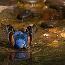 A Bathing Blue Grosbeak by Kenny Salazar (kennysalazar)) on 500px.com