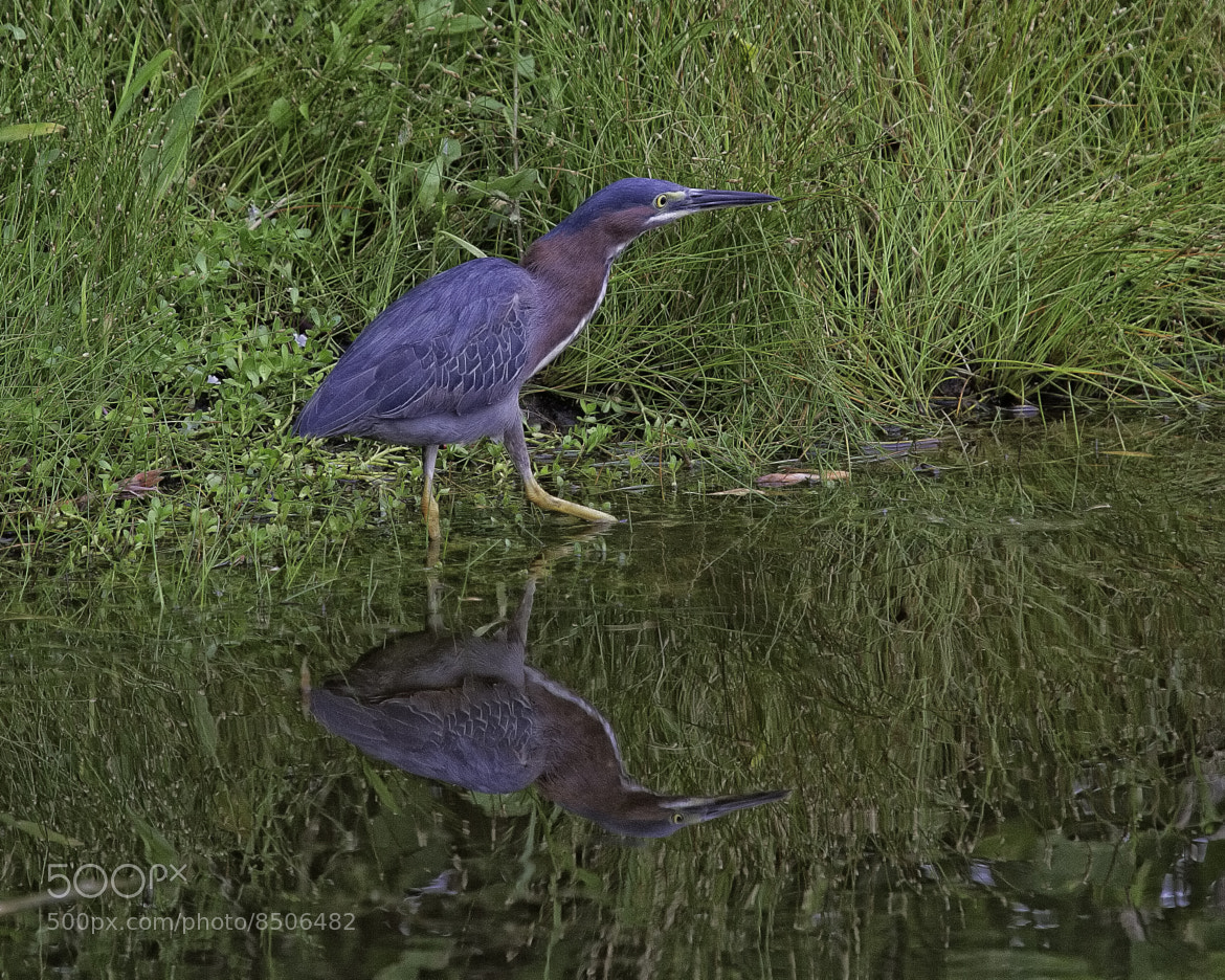 Photograph Reflective Green Heron by John Mead on 500px