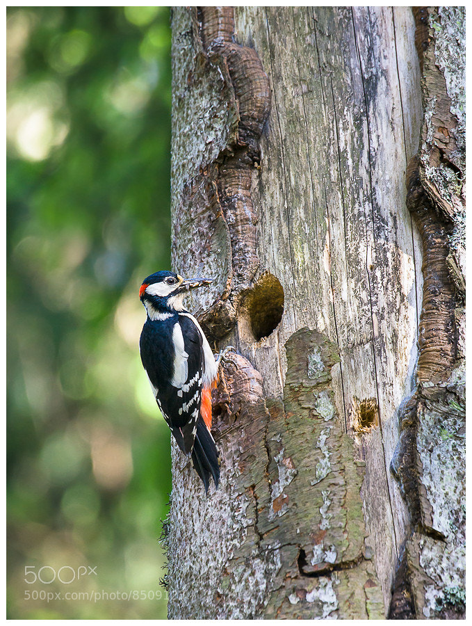 Photograph Great Spotted Woodpecker by Simon Benedičič on 500px