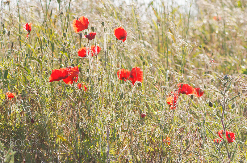 Photograph wild poppies by JOHN  DALY on 500px