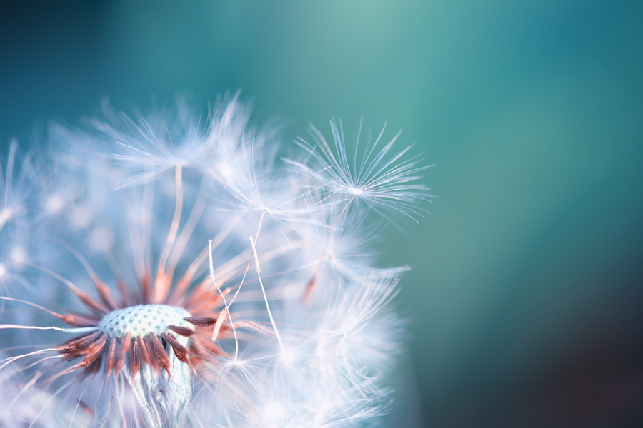dandelion  by photo 21c on 500px.com