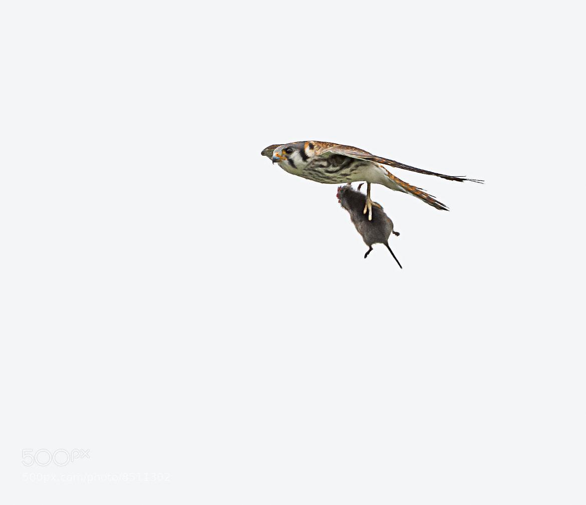 Photograph American Kestrel by Steven Kersting on 500px