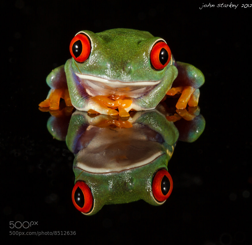 Photograph Chilling Out (Red eyed tree frog) by John Starkey on 500px