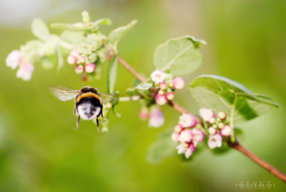 Photograph Bumlebee by Helena Flykt on 500px