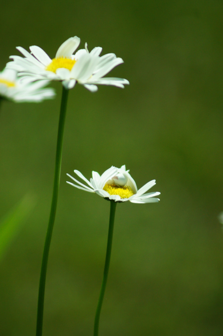 Photograph Hidden among the Daisies by Katherine Blake on 500px