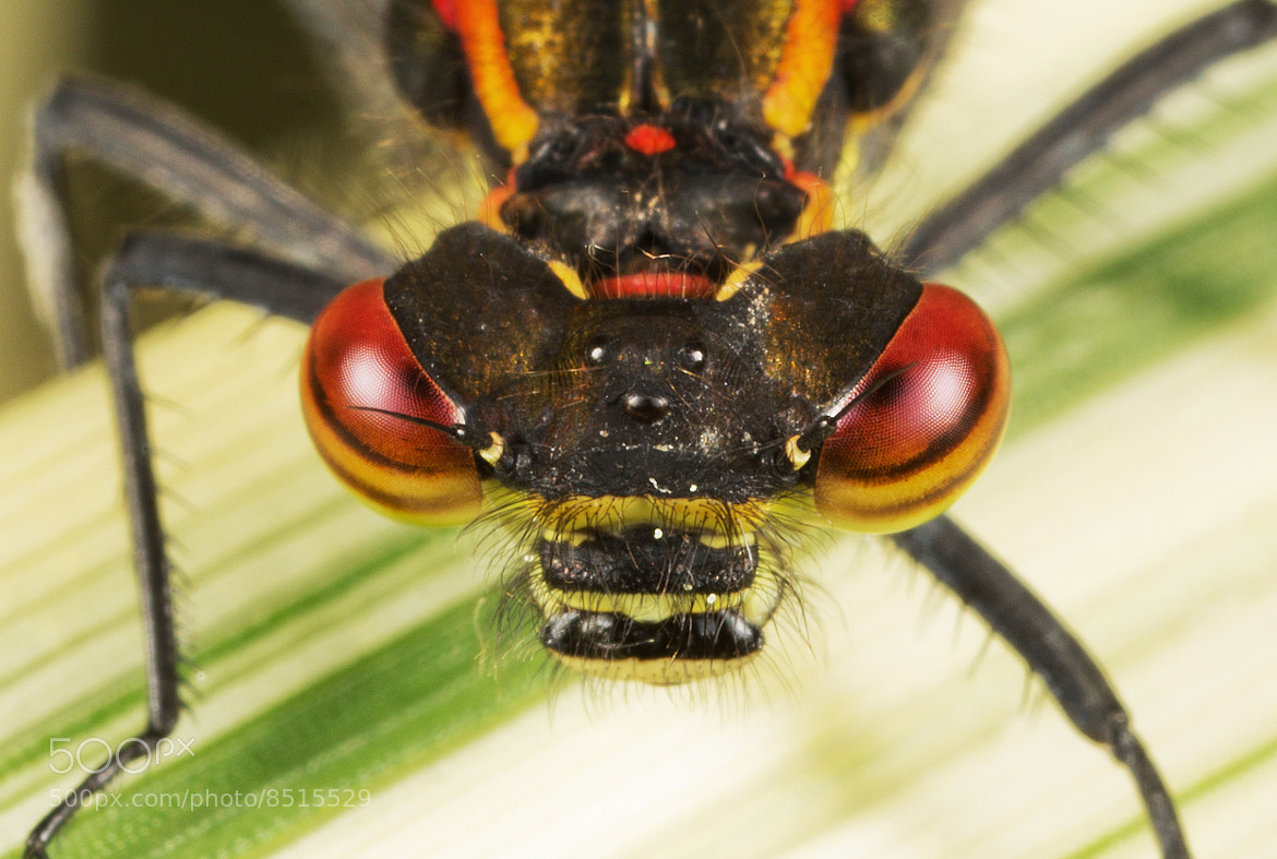 Photograph Damsel Close-Up by Mike Smith on 500px