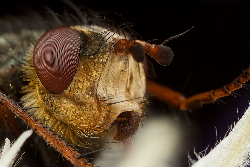 Photograph Tachnid Fly Portrait by Alistair Campbell on 500px