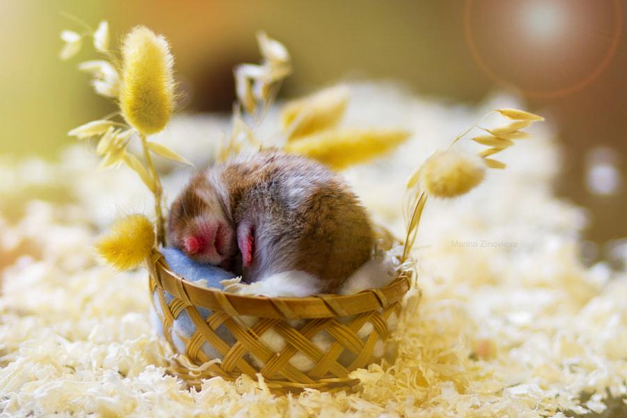 Sleeping hamster by Marina Zinovieva on 500px.com