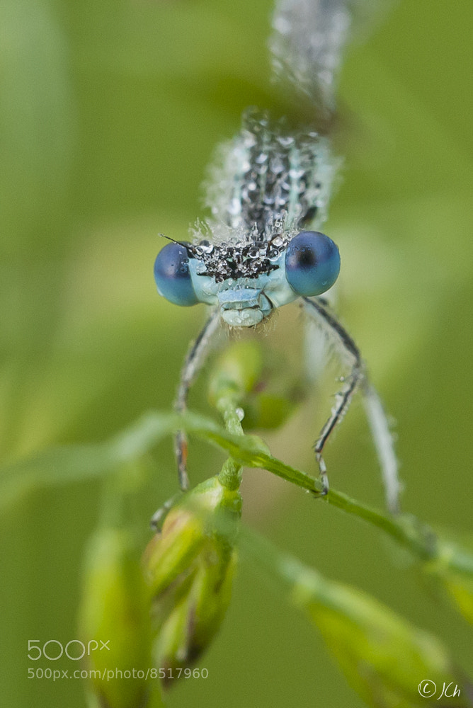 Photograph damselfly by Johan CHABBERT (JCh) on 500px