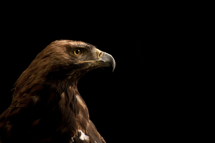 Eastern imperial eagle by Dusica Paripovic on 500px.com