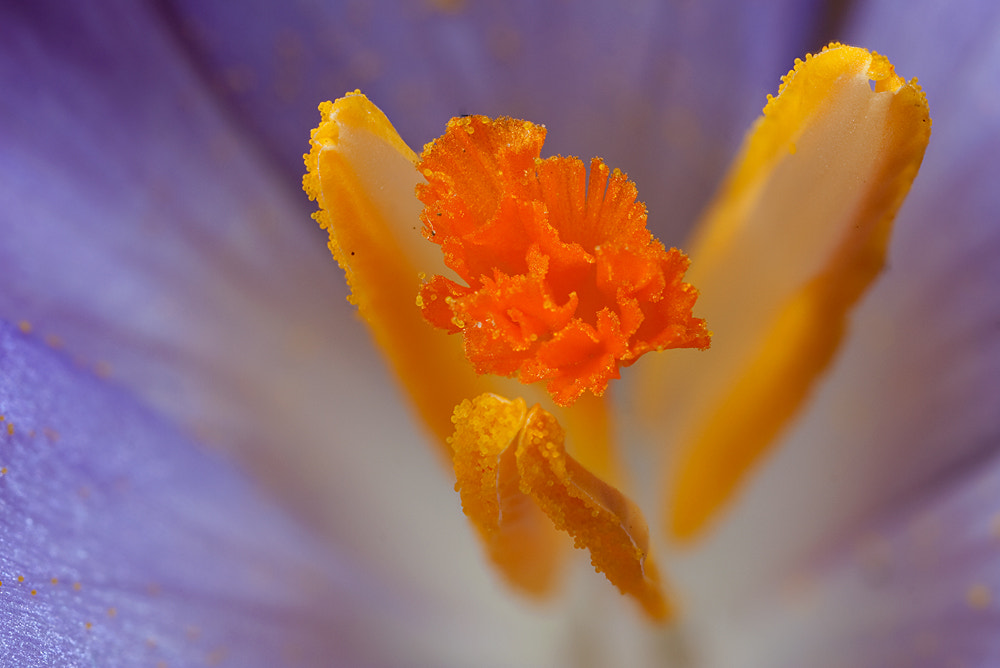 Photograph Crocus by Alistair Campbell on 500px